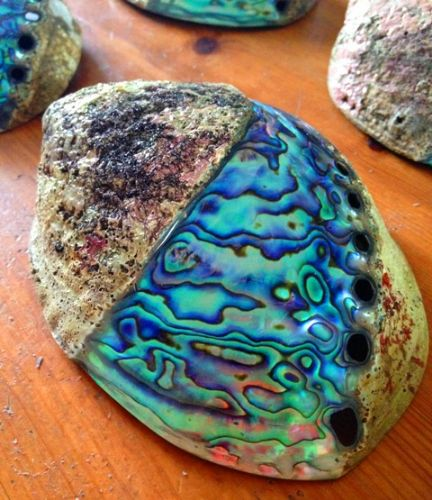 Half Polished Swirl Paua Shell